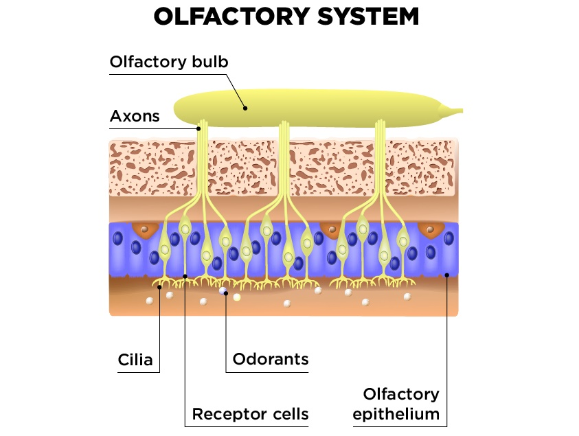 olfactory-system